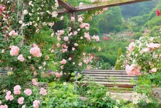 Розовата градина...
