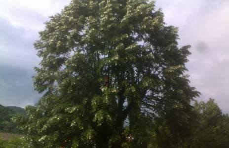 "Буря повали Даскалдимитровата липа,  участвала в конкурса ""Дърво с корен"""