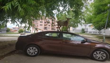 Колата е моя, козата- не!